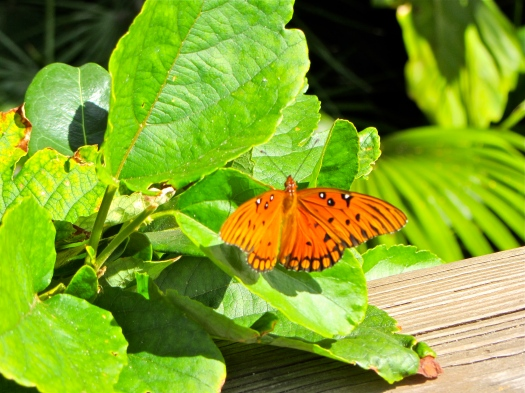 monarch butterfly in key west
