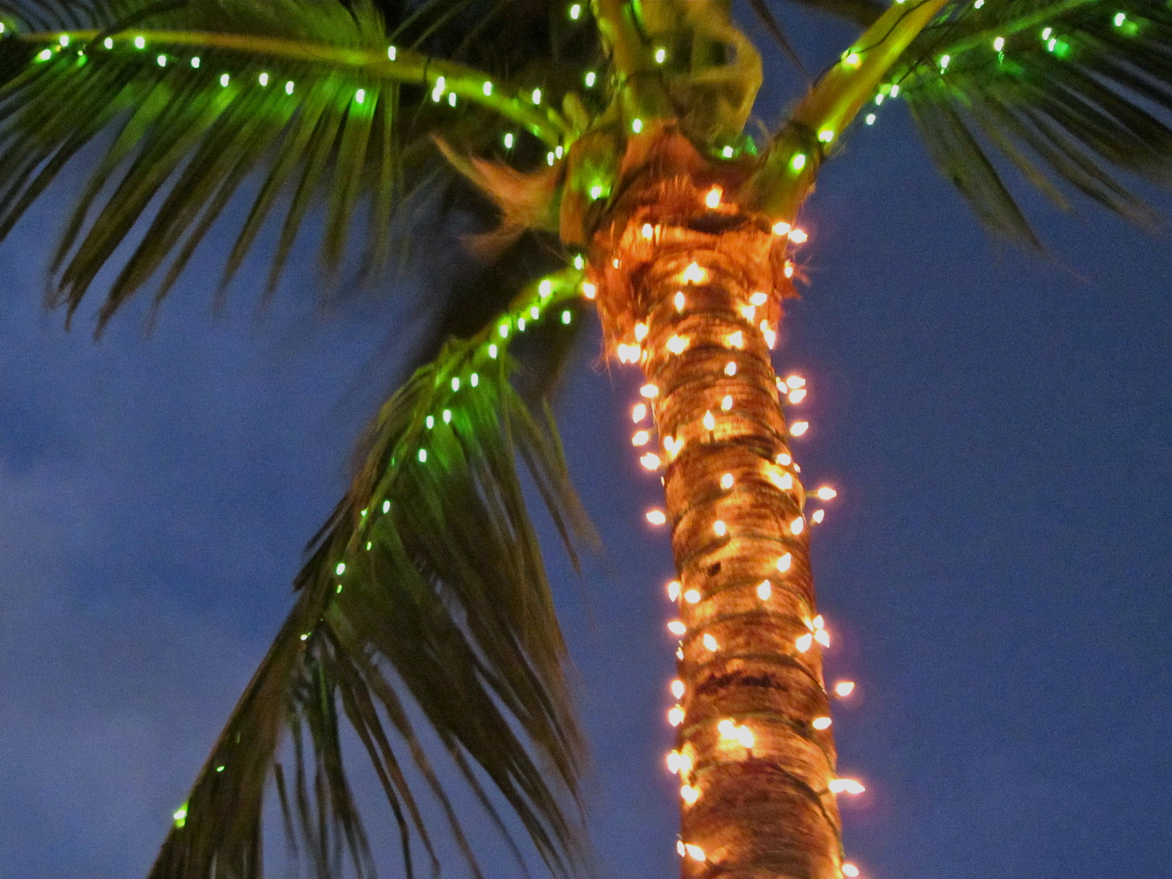 palms decorated with lights palm with christmas lights - Palm Tree With Christmas Lights