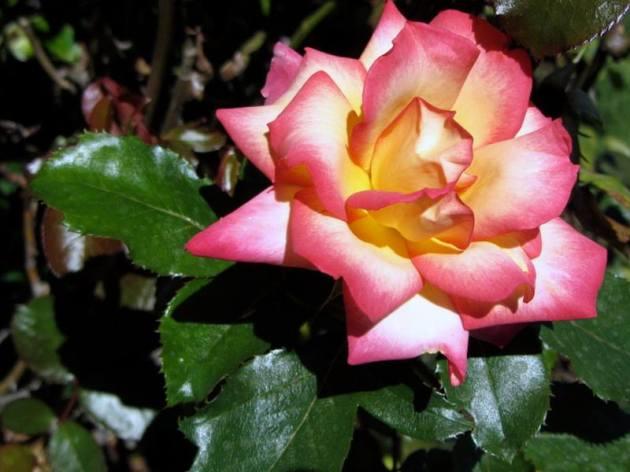 Pink and orange rose